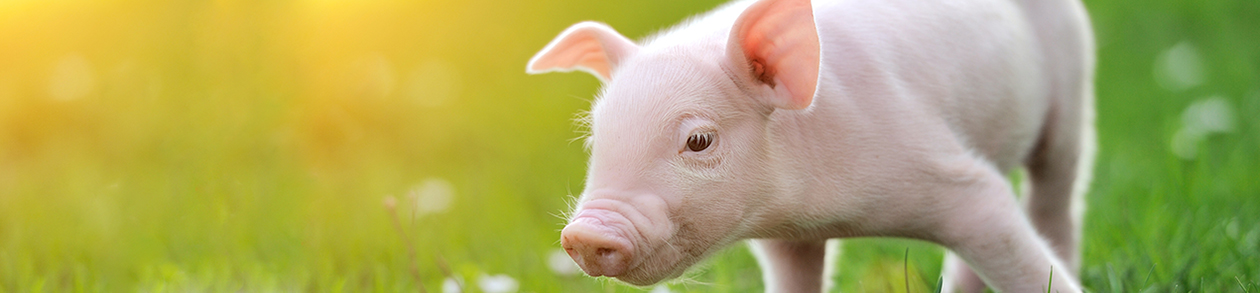 Schwein_Portrait