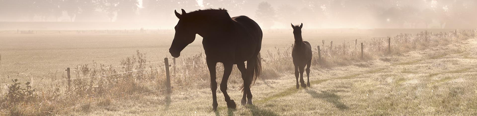 Bannerbild Raika-Pferde in der Morgendämmerung